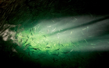 underwater view of fish with gas bubbles coming from SOLVOX OxyStream